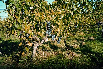 Ciliegiolo - Ciliegiolo vines.