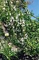 Satureja montana 1.jpg