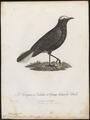Saxicola leucura - 1796-1808 - Print - Iconographia Zoologica - Special Collections University of Amsterdam - UBA01 IZ16200332.tif