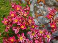 Saxifragaceae - Saxifraga grisebachii-1.JPG