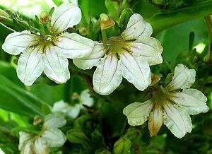 Scaevola taccada - S. taccada flower