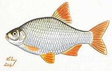 Rotengle wiktionnaire for Gartenteichfische arten