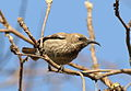 Scarlet-chested sunbird, Chalcomitra senegalensis, at Lake Chivero, Harare, Zimbabwe -- female (21247769253).jpg
