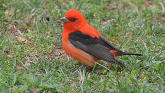 Shades of red - A scarlet tanager