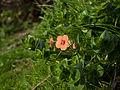 Scarlet pimpernel (Anagallis arvensis) (4360638478).jpg