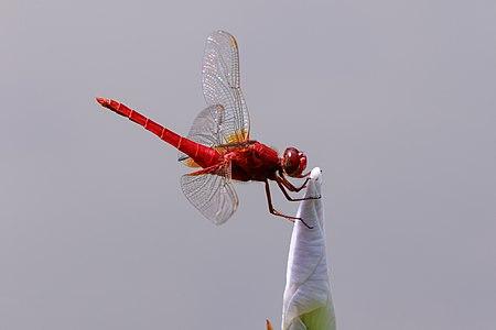 Scarlet skimmer at Keitakuen in Osaka.