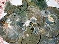 Schimmelpilzrasen (mehrere Arten) auf Zitronenscheiben, 02.jpg
