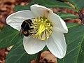 Schneerose (Helleborus niger) mit Hummel.jpg
