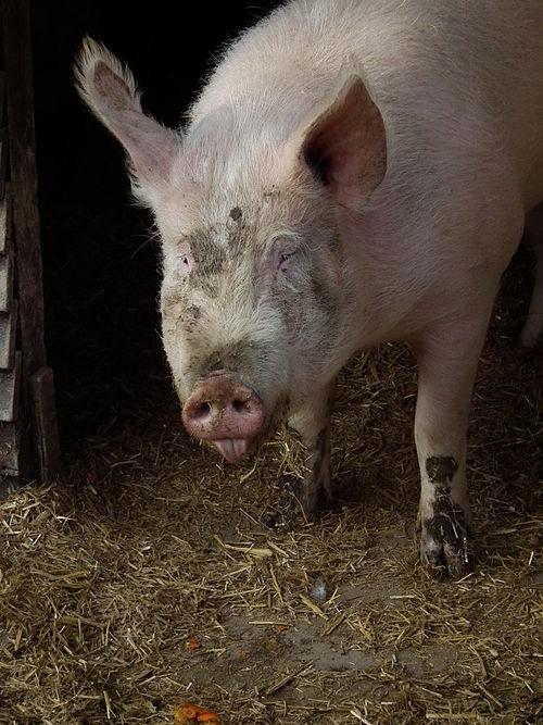 Schweinezunge raus
