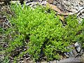 Scleranthus biflorus plant3 Walcha NT - Flickr - Macleay Grass Man.jpg