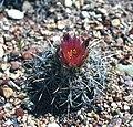 Sclerocactus wrightiae fh 69 79 UT B.jpg