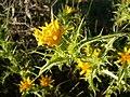 Scolymus hispanicus 3.jpg