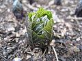 Scopolia japonica-02.jpg