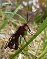 Scorpion Fly, Missouri Ozarks.JPG