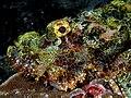 Scorpionfish Nick Hobgood.jpg