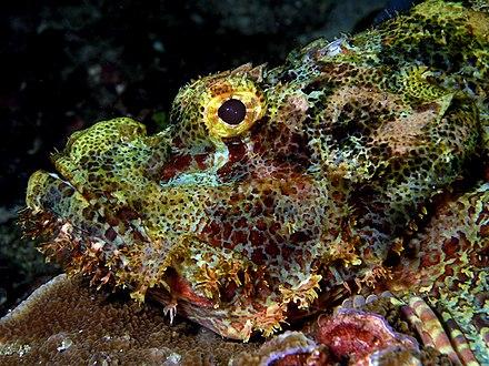 A tassled scorpionfish