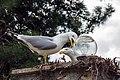 Seagulls on Büyükada Island.jpg