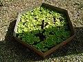 Seaweed msa haller.jpg
