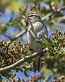 Sedge warbler (Acrocephalus schoenobaenus) 5.jpg