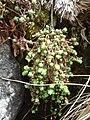 Sedum brevifolium 3.jpg
