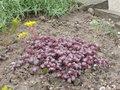 Sedum spathulifolium2.jpg
