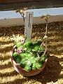 Sempervivum ciliosum (Crassulaceae).JPG