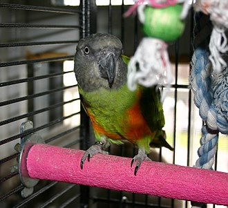 Senegal parrot - Pet parrot in a cage with toys. The perch is made from a hard material to wear down the tips of claws.