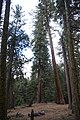 Sequoya National forest Giant Forest en2016 (9).JPG