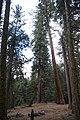 Sequoya National forest Giant Forest en2016 (9).JPG