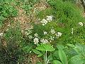 Seseli montanum or hippomarathrum (15132411555).jpg
