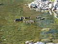 Seven ducks in stream at BYU 1, Jun 16.jpg