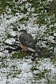 Sharp-shinned Hawk (Accipiter striatus) - Mississauga, Ontario 03.jpg