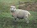 Sheep - geograph.org.uk - 315486.jpg