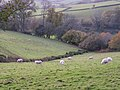 Sheep in the fields near Leigh Barton - geograph.org.uk - 1584454.jpg