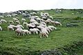 Sheep nearby Popova Shapka.jpg