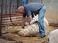 Sheep shearing by Magic Foundry.jpg
