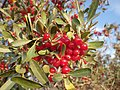 Shepherdia argentea — Matt Lavin 010.jpg