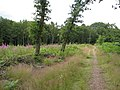 Sherwood Forest - Clearing - geograph.org.uk - 1400846.jpg