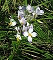 Shola flower.jpg
