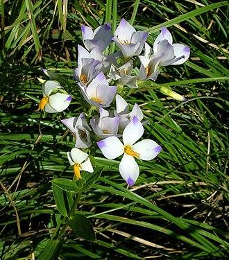 Shola - Exacum bicolor, a shola grassland plant