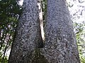 Siamese Kauri trunk near Waiau Kauri grove.jpg