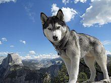 Un husky con gli occhi azzurri