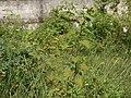 Sidastrum micranthum (A.St.-Hil.) Fryxell (6254665436).jpg