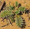 Silverweed (Argentina anserina) - Flickr - wackybadger.jpg