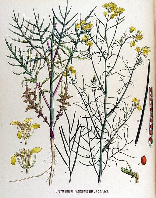 Sisymbrium pannonicum — Flora Batava — Volume v17
