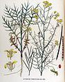 Sisymbrium pannonicum — Flora Batava — Volume v17.jpg
