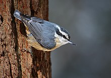 http://upload.wikimedia.org/wikipedia/commons/thumb/d/d2/Sitta_canadensis_CT2.jpg/220px-Sitta_canadensis_CT2.jpg
