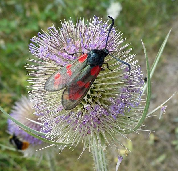 File:Six-spot Burnet Moth (Zygaena filipendulae).jpg