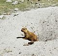 Sleeping Beauty! - Indian Marmot.jpg