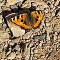 Small tortoiseshell, Aglais urticae, Nässelfjäril (Explored 2020-08-26) - Flickr - blondinrikard.jpg